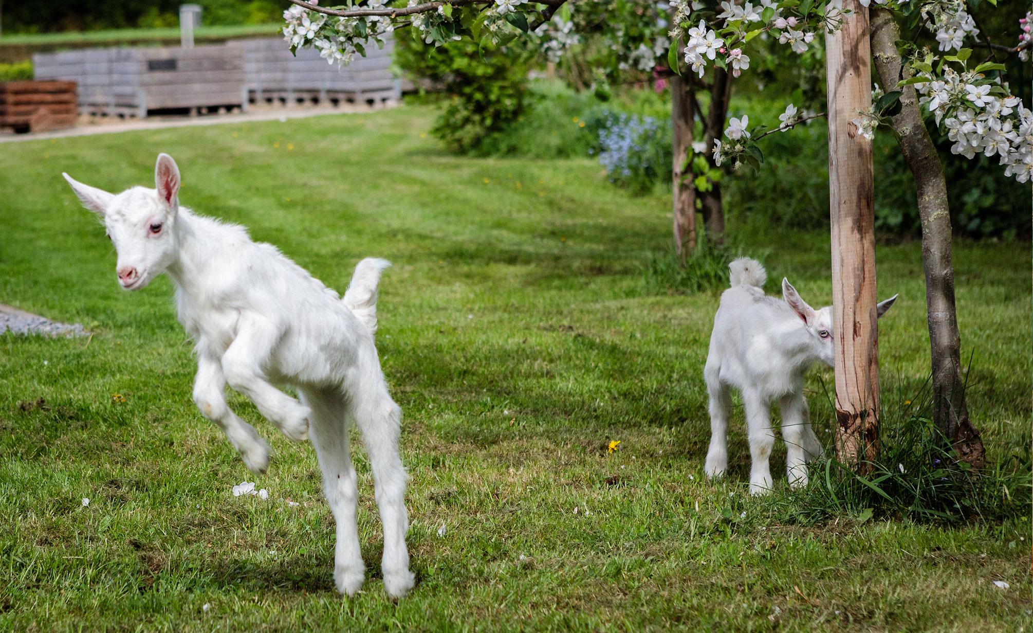 Achtergrond van melkgeiten Zorgboerderij Ravensbosch Hulsberg
