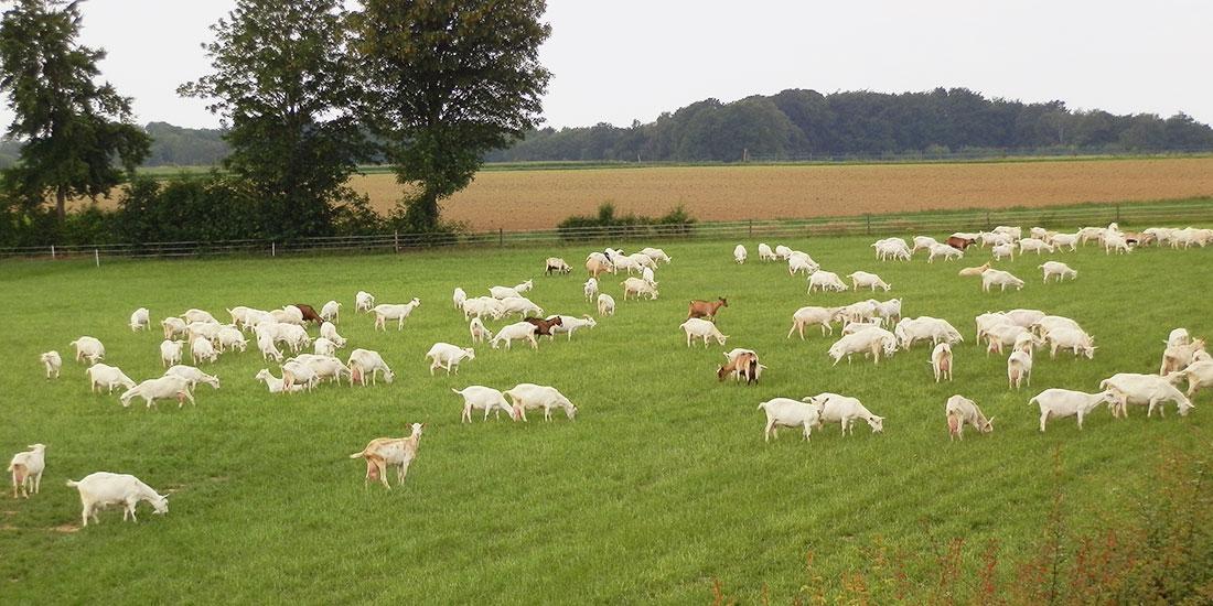Melkgeiten in de wei bij Zorgboerderij Ravensbosch Hulsberg
